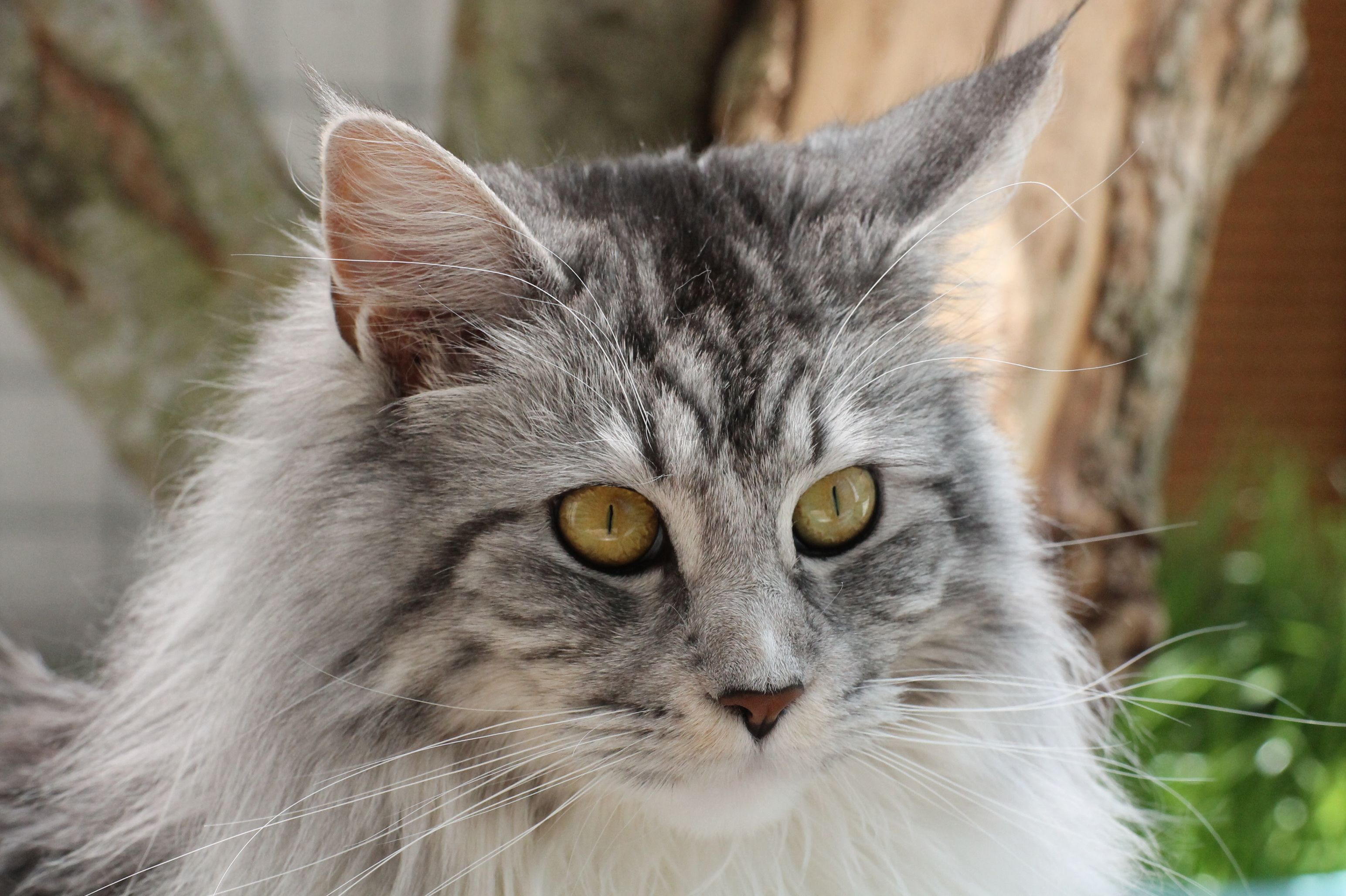 Maine Coon black-silver-tabby-white