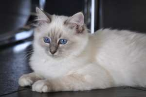 Quimba Babo of Blue Fire, blue-tabby-point
