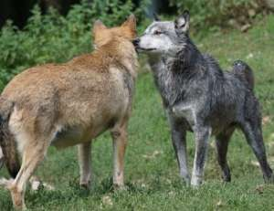Wolf_hund