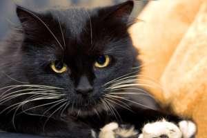 Feline Hyperaesthesie
