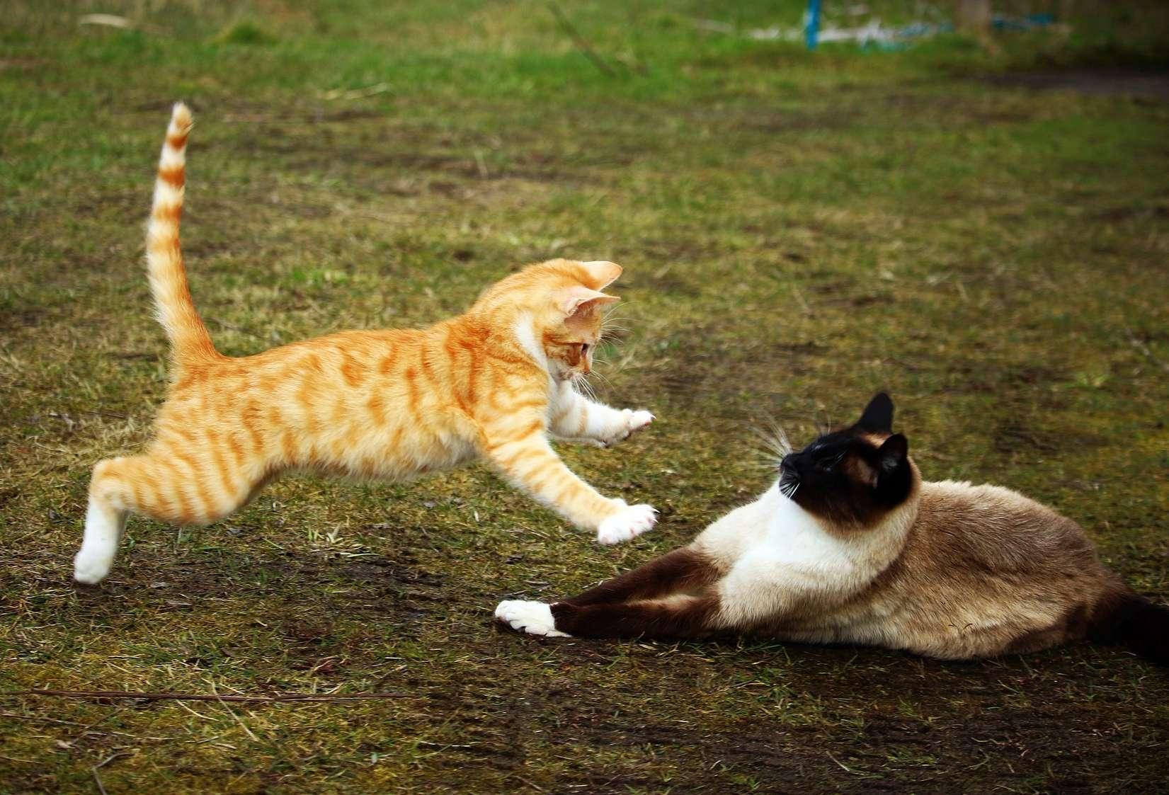 FIV-Felines Immundefizienz Virus Katzen Aids